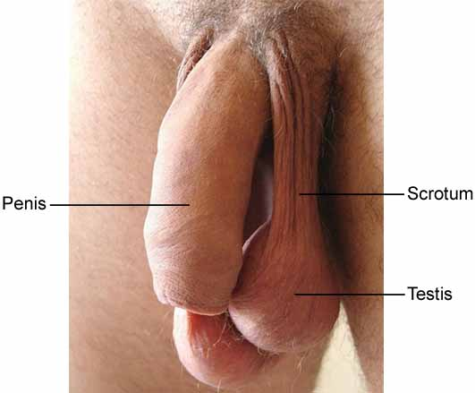 Imaging of Penile and Scrotal Emergencies - RSNA