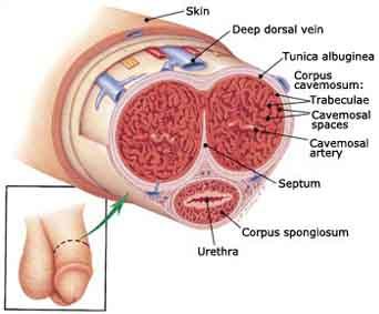 penis anatomy, penis, penile, glans, foreskin, shaft